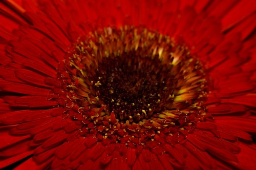 Close up Red Gerbera Background