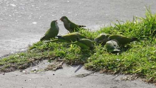 Medium group of animals, parrot, parrots, green, b