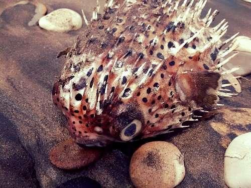free images  Globe Fish