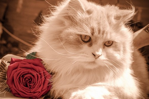 Romantic cat together with a rose for wallpaper