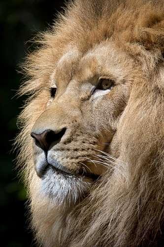 free images  Lion