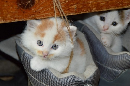 free images  Tiny kittens inside the shoes