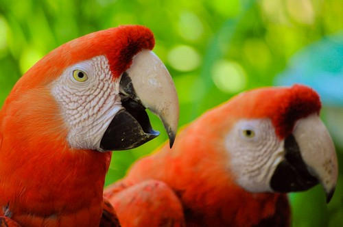 Pair of Profile Macaws
