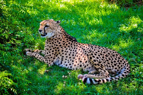 free images  Cheetah at rest