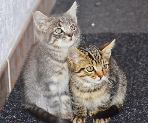 free images  Little feline brothers