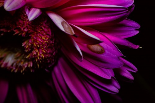Purple Gerbera flower Black Background