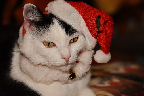 free images  Christmas kitten