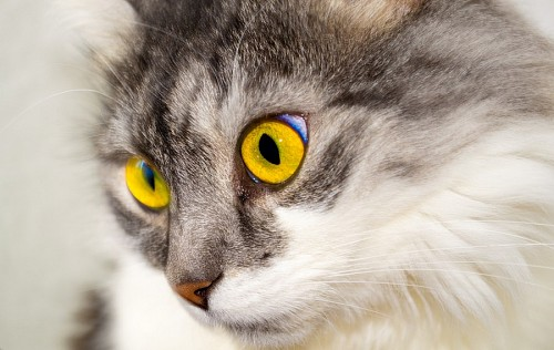 Feline yellow eyes