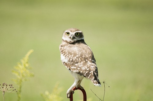 Owl posing on green background