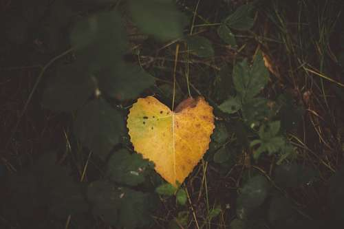 free images  Yellow leaf with heart shape