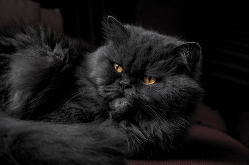 free images  Majestic black cat on sofa board