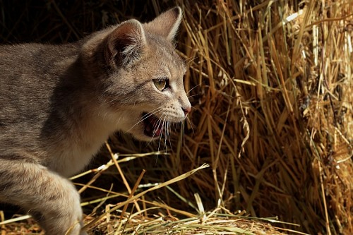 Little wildcat learning to hunt
