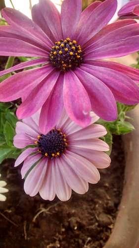 Flower, flowers, gerberas, garden flower pot