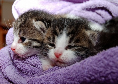 free images   Adorable Newborn Kittens Covered in Violet Blanket
