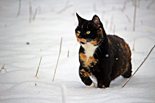 Lucky cat tricolor lurking in the snow
