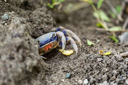 free images  Crab