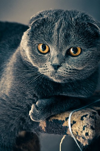 free images  Sympathetic gray kitten with penetrating golden gaze