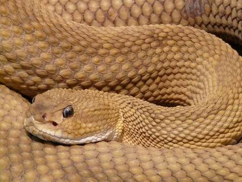 free images  rattlesnake