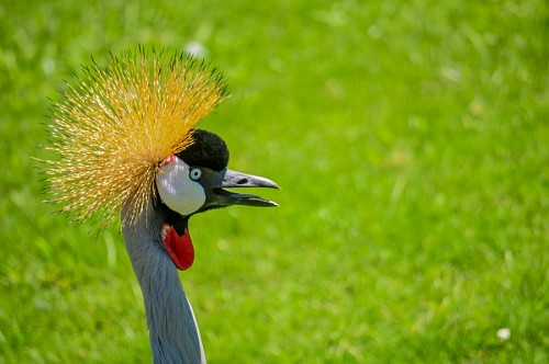 Profile of crowned crane