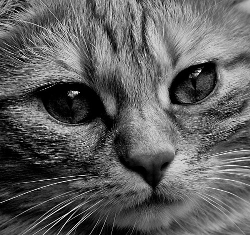 free images   Feline portrait in black and white
