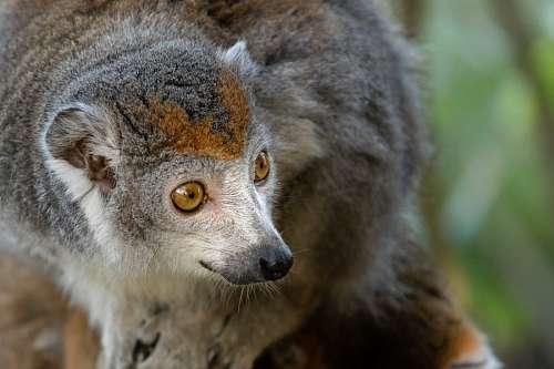 free images  Lemur