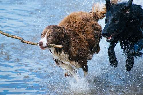 Two dog playing in the water with a wooden stick