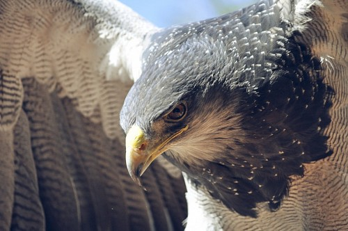 Close-up of eagle