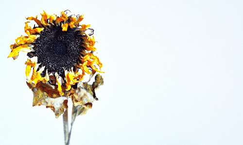 free images  dry sunflower