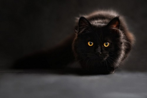 Beautiful black cat with penetrating look for wallpaper