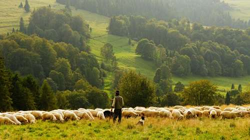 free images  shepherd