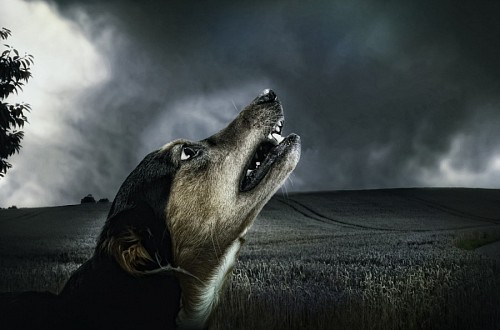 free images   Little mongrel dog howling at dusk