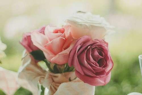 San valentin roses