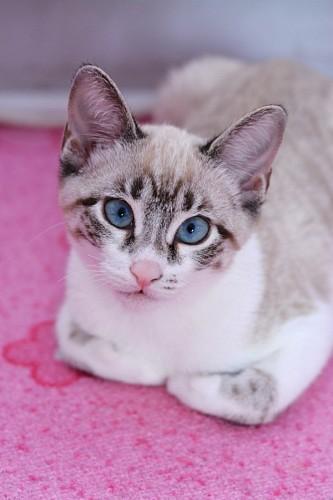 Sweet Siamese kitten on pink carpet