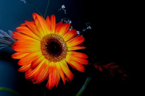 free images  Gerbera Flower on Dark Background