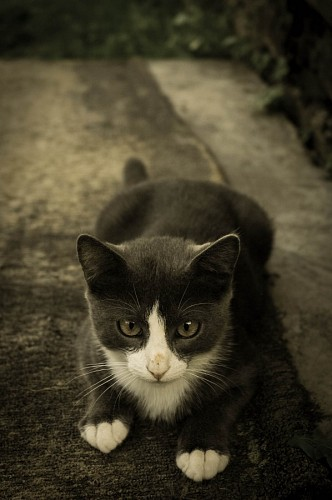 free images   Tender gray and white feline