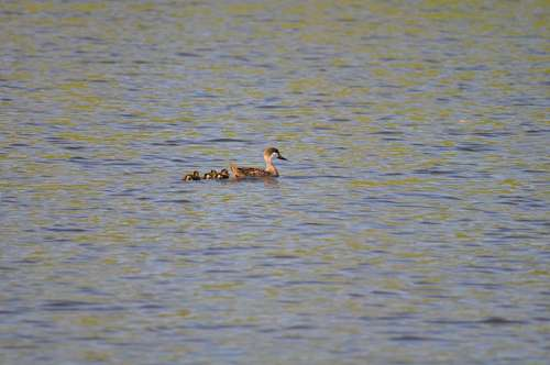 Duck, Ducklings, Swimming, Lake