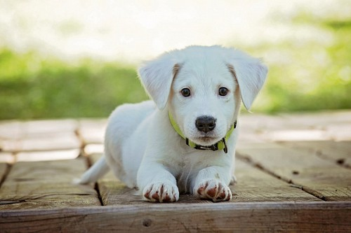 Tender white puppy