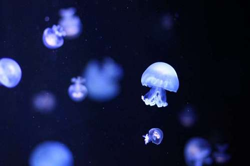 free images  jellyfish
