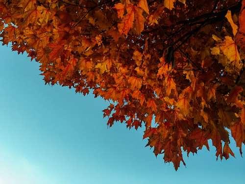 autumn leaf blue sky