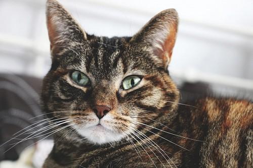 Feline green eyes