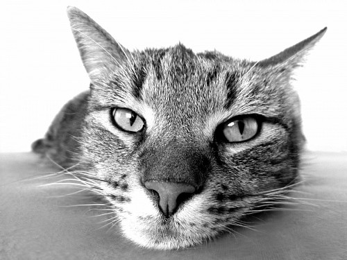 free images   Feline look relaxed in black and white