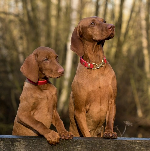 Brown weimaraner puppies