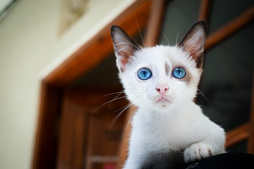 free images  Young white kitten with turquoise look