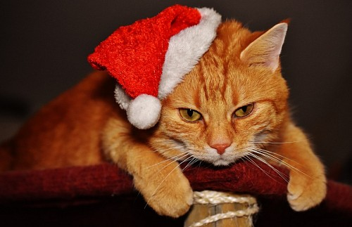 free images  Cat with golden fur and Christmas bonnet