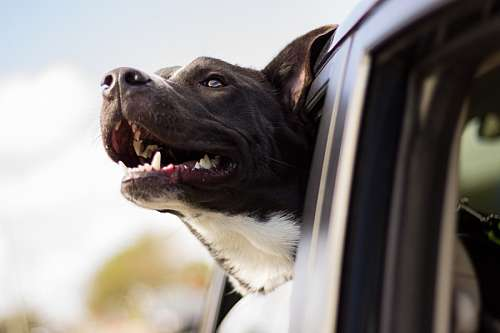 free images  Dog traveling in car