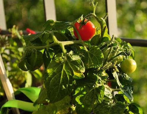 free images  Cherry Tomatoe