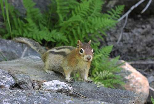 free images  Squirrel