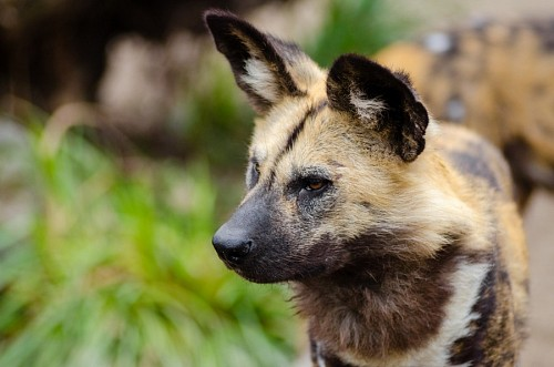 free images  African wild dog