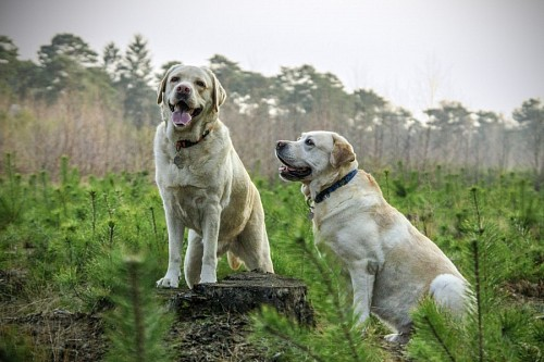 Adult Labrador Retrievers in the Scrub