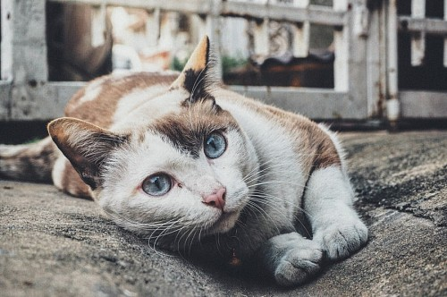 Beautiful blue eyed street cat